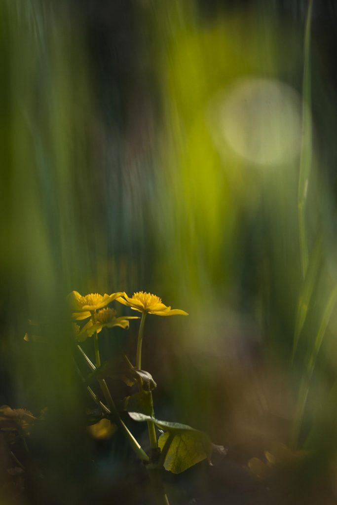 Postillion of spring
