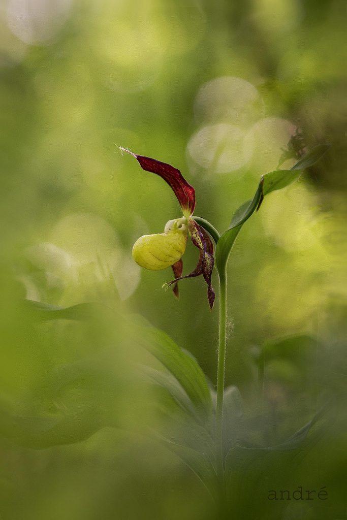 Erdei papucskosbor (Rigópohár, boldogasszony papucsa) - Cypripedium calceolus (fokozottan védett)