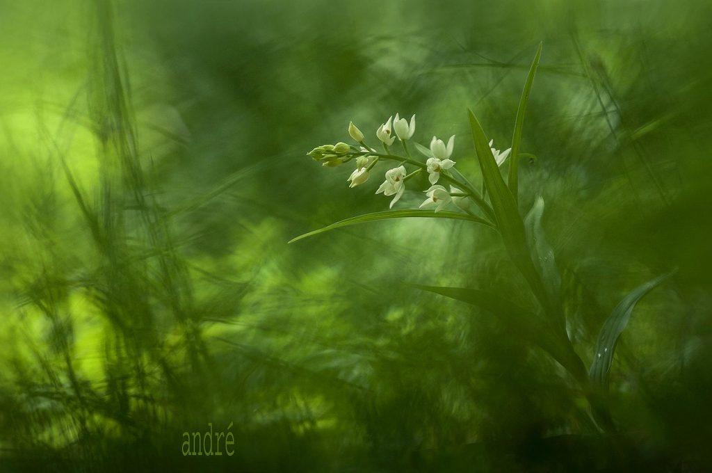 Kardos madársisak - Cephalanthera longifolia