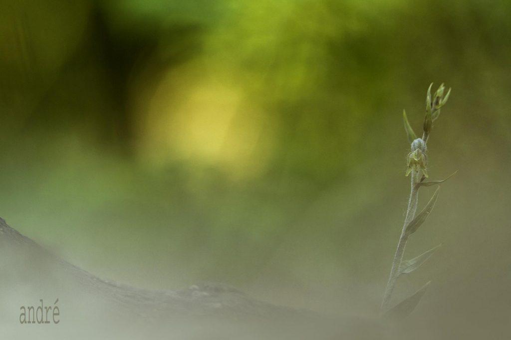 Kislevelű nőszőfű - Epipactis microphylla