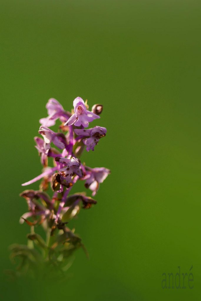 Illatos bibircsvirág - Gymnadenia odoratissima