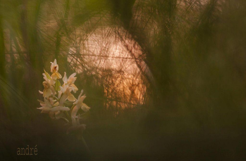 Bodzaszagú ujjaskosbor - Dactylorhiza sambucina