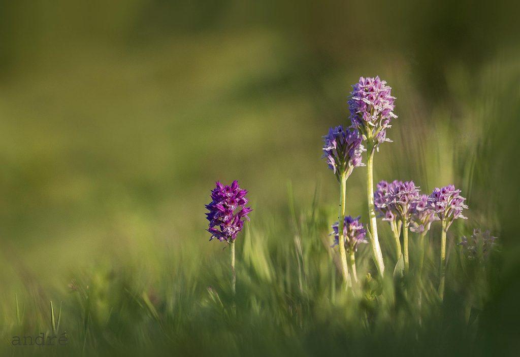 Tarka pettyeskosbor - Orchis tridentata