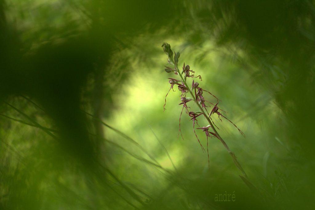 Janka (Bíbor) Sallangvirág - Himantoglossum jankae (fokozottan védett)