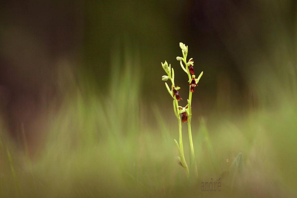 Légybangó - Ophrys insectifera (fokozottan védett)