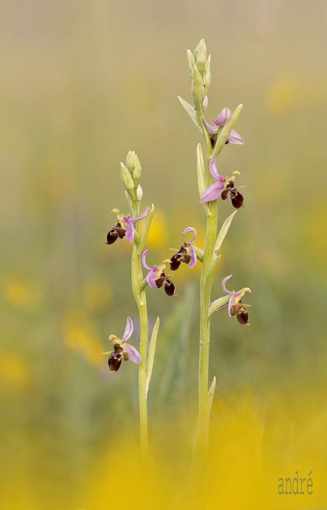 Szarvas bangó - Ophrys fuciflora ssp. scolopax (fokozottan védett)